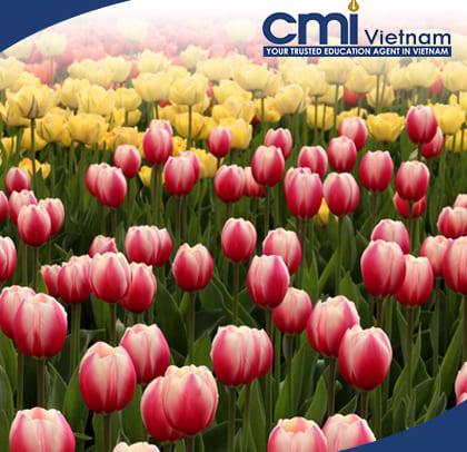 le-hoi-hoa-tulip-du-hoc-canada-cmi-vietnam